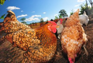 Every sustainable home should have hens.